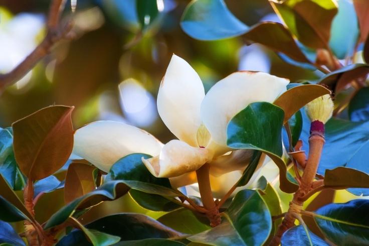 magnolia-flowers_mkkrfdfo