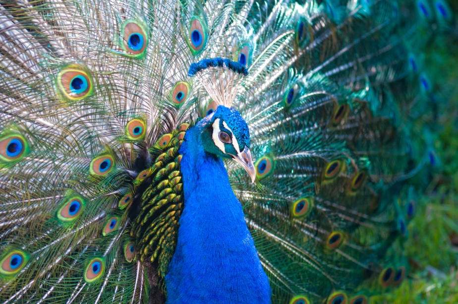 Peacock side view
